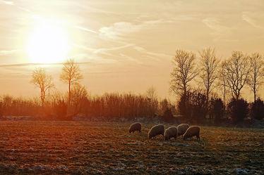 Bild mit Säugetiere,Landschaften,Schnee,Sonnenuntergang,Haustiere,Sonne,Sonnenschein,Schafe,Frost,Weide,Raureif,Nutztiere,Winterabendstimmung