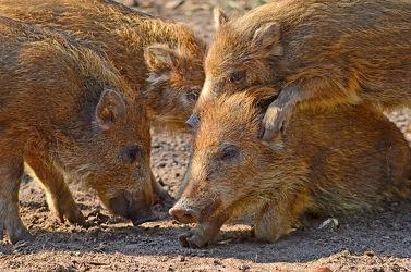 Bild mit Säugetiere, Säugetiere, Haustiere, Ferkel, Schweine, nahaufnahme, Spielen, Freigehege, Nutztiere