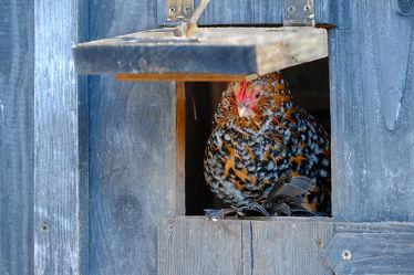 Bild mit Tiere, Haustiere, Vögel, Huhn, Nutztiere, Holzhaus, Luke, Öffnung, Henne, Hühnerhaus