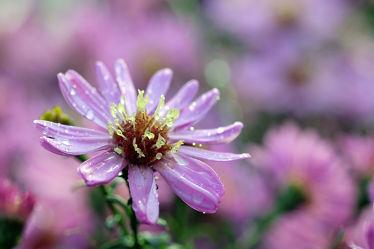 Bild mit Gelb,Blumen,Lila,Herbst,Blau,Astern,Makro,Regentropfen,nahaufnahme,Herbstastern