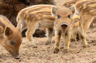 Bild mit Säugetiere, Ferkel, familie, Glück, Schweinchenglück, Neues_Jahr, Kuff, Kuff, Frischlinge, Glückwünsche, Wünsche
