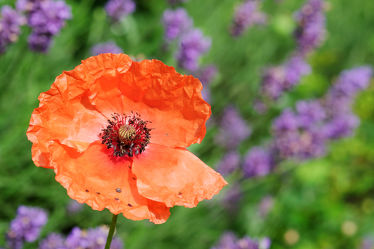 Bild mit Pflanzen,Blumen,Rosa,Rot,Lavendel,Blau,Mohn