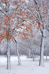 Bild mit Bäume,Winter,Schnee,Blätter,Buchen,Tapete,Winterzeit,Winterzeit,Kälte,Wärme,Idylle,Nässe,Rarität,Wetterumschwung,Winteridylle