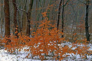 Bild mit Bäume,Winter,Schnee,Weiß,Braun,Wald,Regentropfen,Tropfen,Winterzeit,Regen,Buchentriebe,Finster