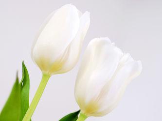 Bild mit Grün,Weiß,Frühling,Blätter,Tulpen,Ausspannen,Dekoration
