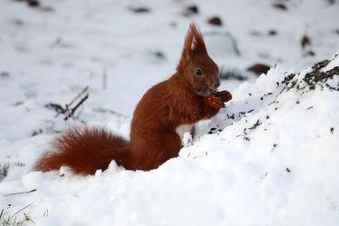 Bild mit Säugetiere,Schnee,Eichhörnchen,Futter