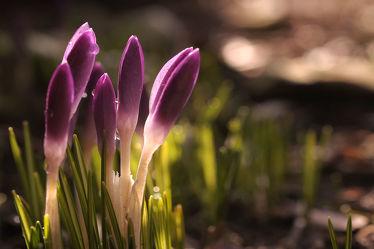 Bild mit Grün,Blumen,Lila,Frühling,blüte,Krokusse,Abendlicht,Geschlossen