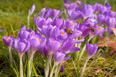 Bild mit Pflanzen, Blumen, Parks, Frühling, Frühling, Insekten, Bienen, Sonne, garten, Krokusse, Wärme, Vorfrühling, Temperatur