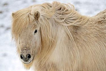Schopf der Isländer