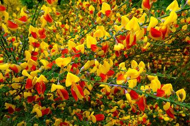 Bild mit Gelb,Grün,Pflanzen,Blumen,Rot,Herbst,Felder,Dreifarbenmotiv,Ginster