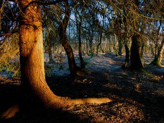 Bild mit Bäume,Nadelbäume,Wälder,Sonnenuntergang,Wald,Baum,Nadelwald,Laubwälder,Hochmoor,Abendlicht,Abendlicht,Unterholz,Dickicht