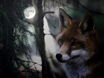 Bild mit Tiere,Dunkelheit,Wald,Tier,Säugetier,Nacht,Fuchs,Mondschein,Vollmond,Füchse