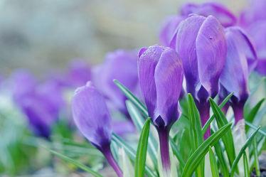Bild mit Blumen,Parks,Lila,Blau,garten,Krokusse,Morgenlicht