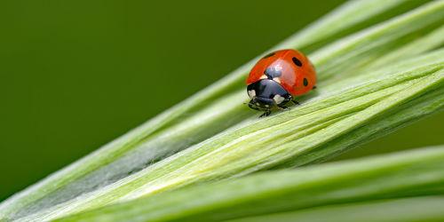 Bild mit Grün, Rot, Blätter, Siebenpunktmarienkäfer, Glückskäfer