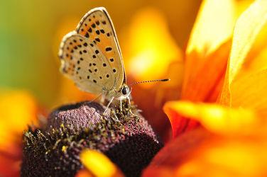 Bild mit Schmetterling, Morgensonne, Bläulinge, Brauner_Feuerfalter