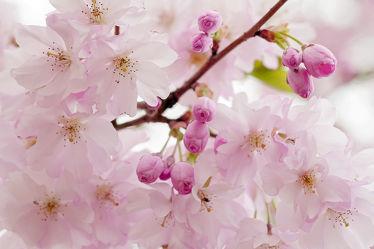 Bild mit Bäume, Parks, Frühling, Sträucher, Blüten, Tapete, garten, frühjahr, Ausspannen, Dezent, Zartheit, Wandbehang, Zärtlichkeit, Zierkirsche, japanisch
