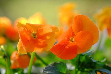 Bild mit Pflanzen, Blumen, Herbst, Sommer, nahaufnahme, Stiefmütterchen