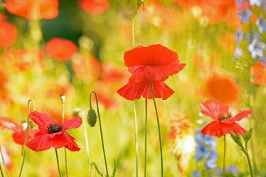 Bild mit Pflanzen, Blumen, Frühling, Herbst, Herbst, Sommer, Mohn, Licht, GENUSS, nahaufnahme, Sonnenlicht, Ausspannen, Geniessen, Schatten, Farbenmeer