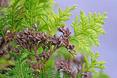 Bild mit Grün, Himmel, Bäume, Herbst, Sträucher, Blau, Braun, Sprößlinge, Taxus, Triebe, Blütenknollen, Spinngeweben