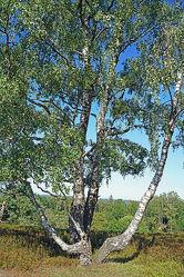Bild mit Baum, Birke, Anhöhe, Naturpark, Schleswig, Holstein, Aukrug, Boxberg