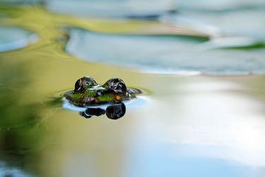 Frosch auf Tauchstation