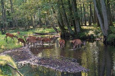 Bild mit Säugetiere, Wasser, Bäume, Gewässer, Wälder, Wald, Herde, Ufer, Rehe, Zuflucht, Horde