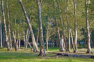 Bild mit Bäume, Herbst, Birken, Wald, Hain