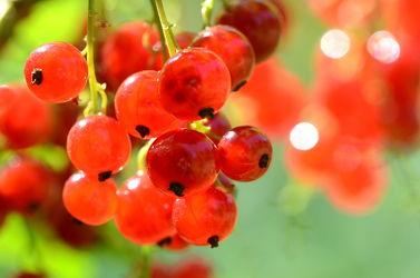 Bild mit Früchte, Beeren, Gegenlicht, Strauch, garten, rote, Abendsonne, Johannisbeeren, Saft, Marmelade, Reife, Beerendolden