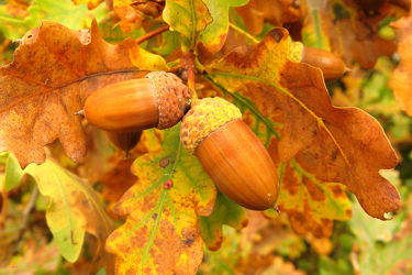 Bild mit Früchte, Herbst, Baum, Blätter, Makro, nahaufnahme, Büsche, Eicheln