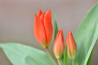 Bild mit Grün, Frühling, Rot, Tulpen, garten, garten, frühjahr, rote, Mini, Niedrigwachsende, Frühe