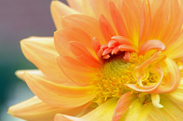 Bild mit Gelb, Kunst, Rot, Sommer, Dahlien, Schönheit, Blüten, garten, Blütenblätter, Ponpondahlien, Wachstum, Exclusives