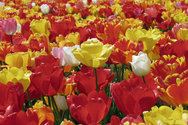 Bild mit Gelb, Blumen, Weiß, Frühling, Rot, Urlaub, Tulpen, Bunt, Reisen, frühjahr, farbig, Ausflug, Tulpenfelder