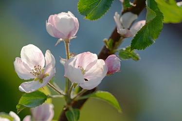 Bild mit Grün, Weiß, Blau, Gegenlicht, Blüten, garten, Abendlicht, Abendsonne, Apfelbäume, Apfelbaumblüte