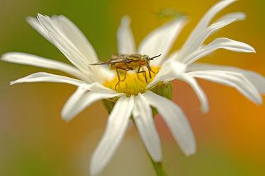 Bild mit Gelb, Weiß, Insekten, garten, Bauerngärten, Zweiflügler, margarite, Haematopoda_pluvialis, Regenbremse