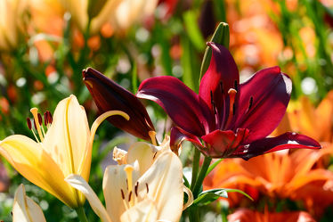 Bild mit Blumen, Herbst, Sonne, Licht, Lilien, rote, Freundschaft, Ostfriese, Partnerschaft, Spätsommer, Schönste, Liebste, Edelste, Edelblumen