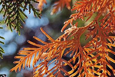 Bild mit Herbst, Blätter, Makro, Gegenlicht, nahaufnahme, Nadeln, Taxus, neue, Abgestorbene