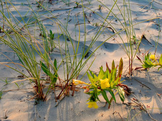 Bild mit Gräser, Blumen, Strände, Sand, Dünen, Küste, Abendlicht