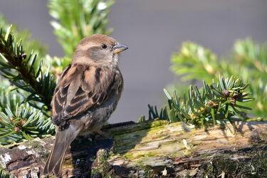 Bild mit Weibchen, Standvogel, Haussperling, Singvögel, Sperling, Graubraun