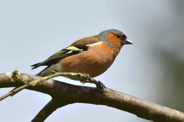 Bild mit Wälder, Parks, garten, Buchfink, Finken, Singvögel, Fringilla_coelebs