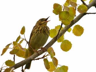Bild mit Singvögel, Sperligsart, Feldschwirt, Locustellea_naevia