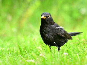 Bild mit Grün, Wälder, Parks, Männchen, Gras, garten, Rasen, Amsel, Gebüsch, Standvogel, Singvögel, Turdus_merula, Sperlingsvogel, Erdboden