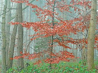 Bild mit Bäume, Wälder, Herbst, Tanne, Nebel, Mischwald, Buche, Unterholz, Lärche