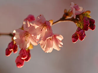 Bild mit Rosa, Rosa, Frühling, Rot, Makro, Gegenlicht, Blüten, nahaufnahme, Zweige, Zierkirschenblütenzweig, Zierkirsche, Weißrosa