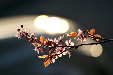 Bild mit Parks, Frühling, Sträucher, Blätter, Gegenlicht, Blüten, garten, Blutpflaume, Großstrauch, Ziergehölz, Rundkrone, Dunkelrote, Primus_cerasifera