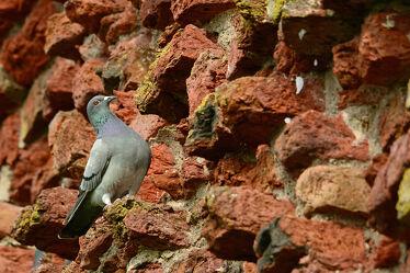 Bild mit Vögel, Federn, Steine, taube, Rotbacksteine, Horteingang, Brutplatz
