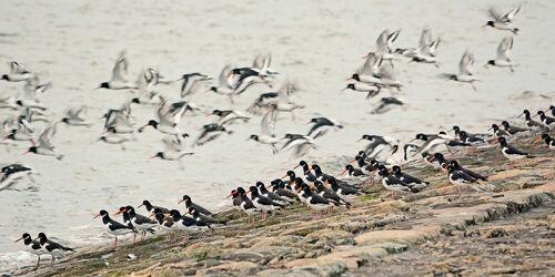 Bild mit Vögel, Küste, Futter, Flut, Abendstimmung, Pellworm, Tide, Austernfischer