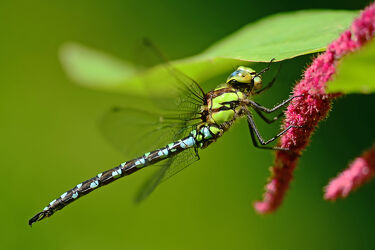 Bild mit Insekten, Libellen, Morgenstunde, Edellibellen, Aufwärmen, Trocknen, Blaugrüne_Mosaikjungfer, Aeshna_cyanea