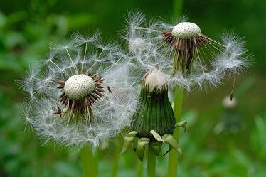 Bild mit Frühling, Sommer, Pusteblumen, Löwenzahnähren