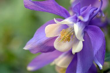 Bild mit Blumen, Blau, Makro, frühjahr, Akelei