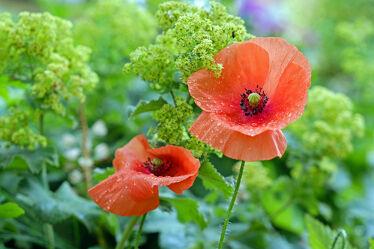 Bild mit Pflanzen, Blumen, Mohn, Regentropfen, Tropfen, nahaufnahme, Grünem